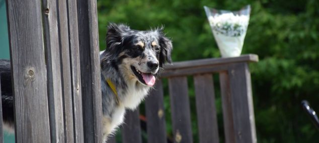Hundpromenader med socialisering.