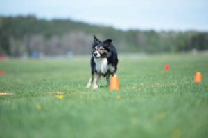 Kurs i att träna inför tävling i tävlingslydnad