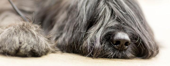 Okänd sjukdom drabbar hundar i Norge
